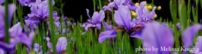 cropped-cropped-irises-wider-w-caption1.jpg